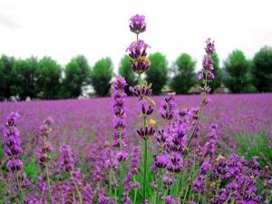 Lavendelfelder könnten unter der REACH-Regelung bald der Vergangenheit angehören.